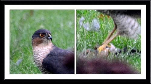saprrowhawk