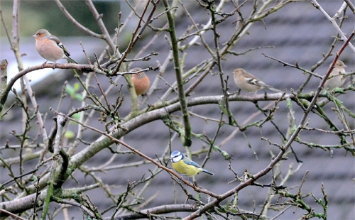 chaffinches and blue tit in plum tree