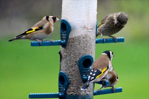 goldfinches and greenfinch