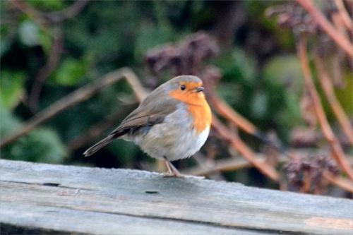 robin at Christmas