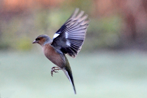 chilly chaffinch