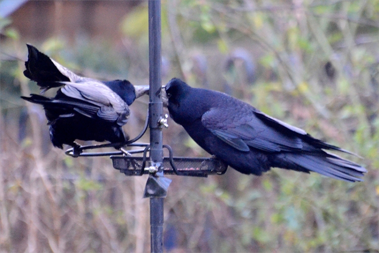 two rooks