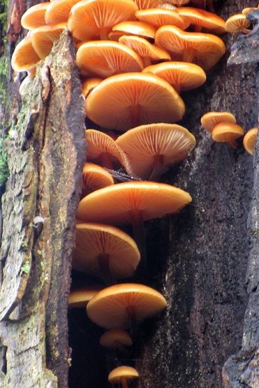 Dropscone's fungus
