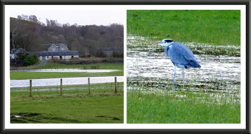 puddle and heron