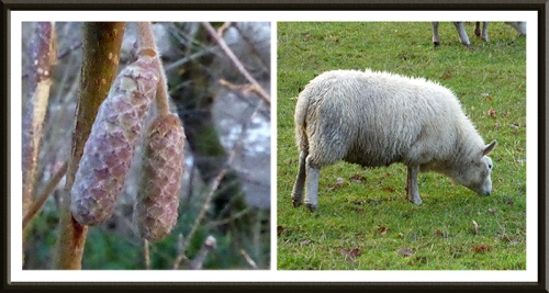 catkin and sheep