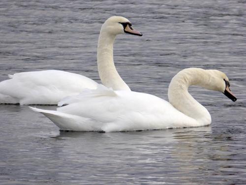 Talkin Tarn swans