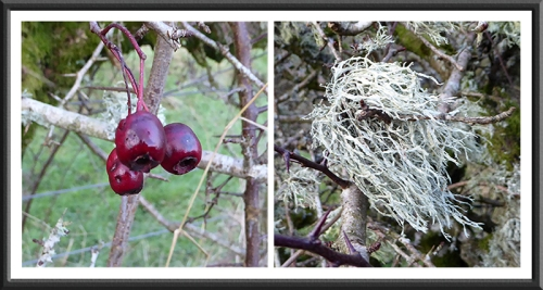 hedge berry and lichen