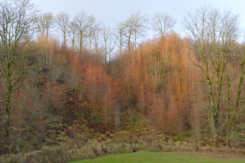 larches in winter