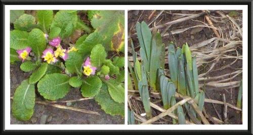 primula and daffodil