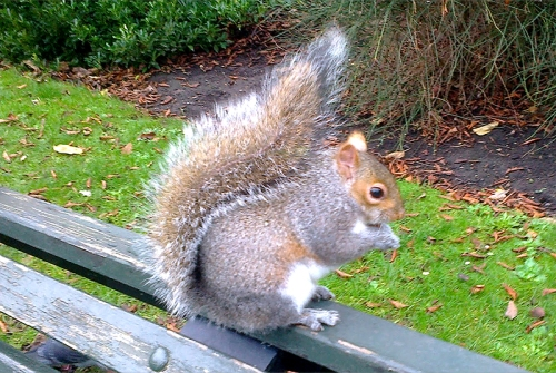 Regent's park squirrel