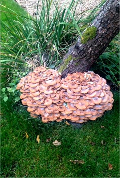 bisham fungus