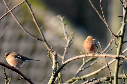 chaffinches in winter sun