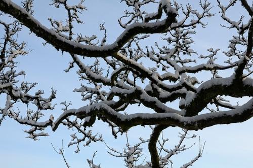 snowy tree castleholm