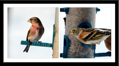 redpoll and brambling