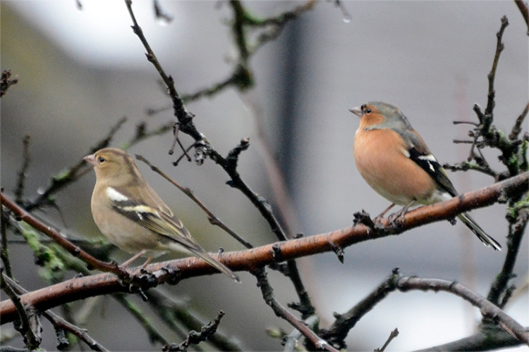 chaffinch pair in plum tree