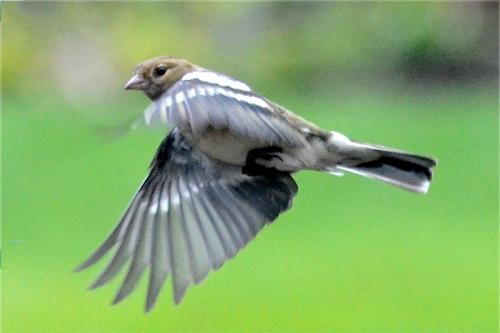 flying chaffinc
