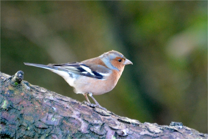Moorland chaffinch