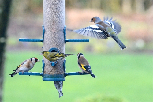chasffinch, goldfinch and siskin