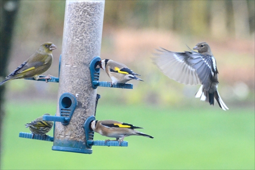 greenfinch, goldfinch, siskin, chaffinch