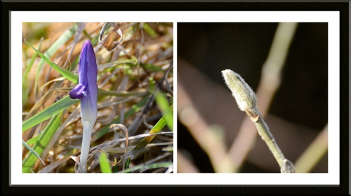 crocus and magnolia bud