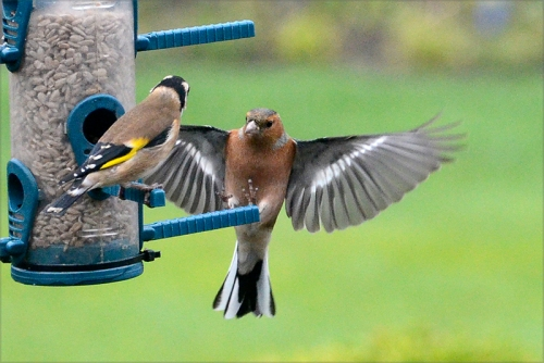 chaffinch and goldfinch talking