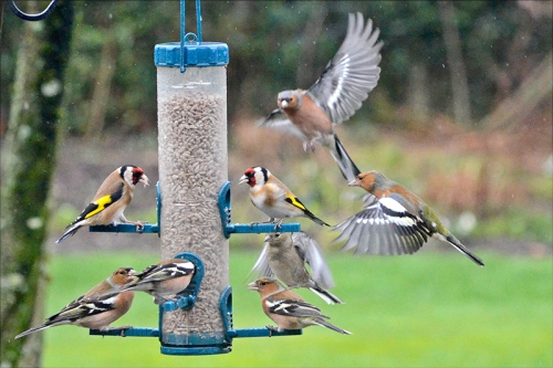 busy feeder goldfinches and chaffinches