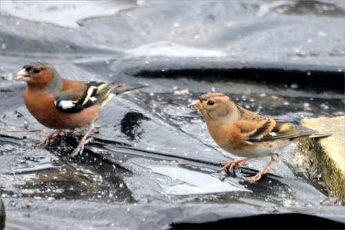 brambling and chaffinch