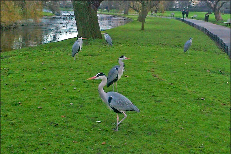Herons in London