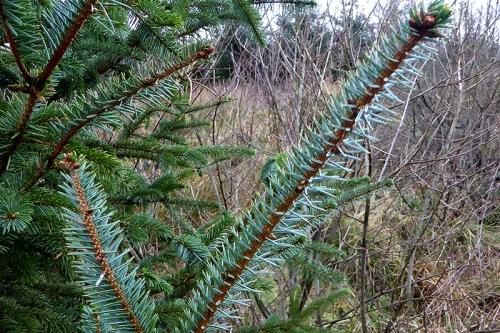 seedling spruce