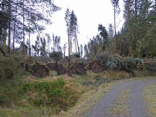 Kirtleton forest fallen tree