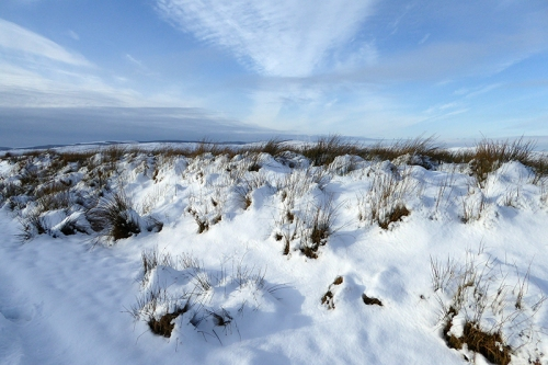 warbla tussock in snow