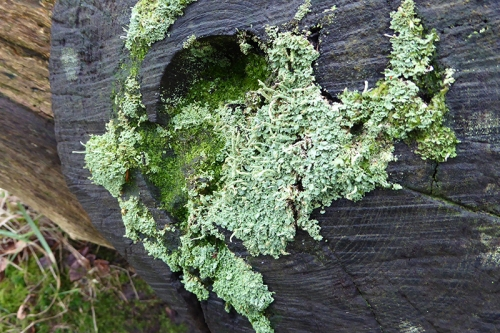 tree stump with lichen