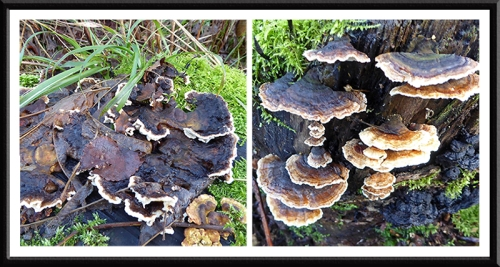 fungus on gaskell's
