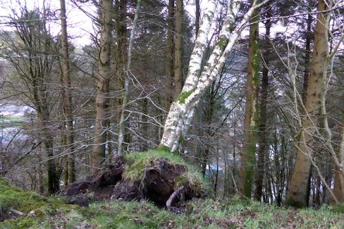 fallen tree Stubholm