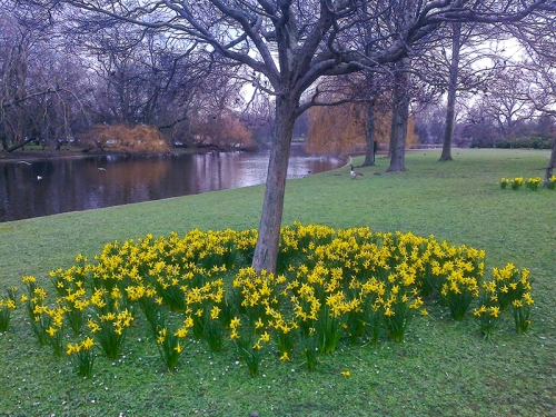 Daffodils in Regent's Park 004