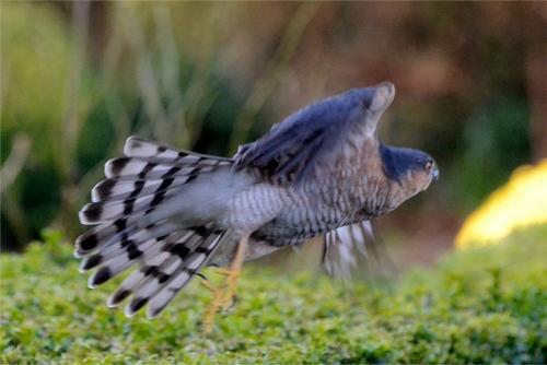 flying sparrowhawk
