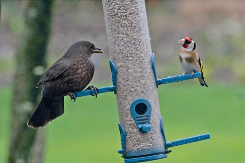 blackbird and goldfinch