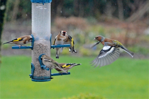 goldfinch and chaffinch