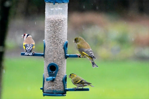 goldfinch, siskin and greenfinch