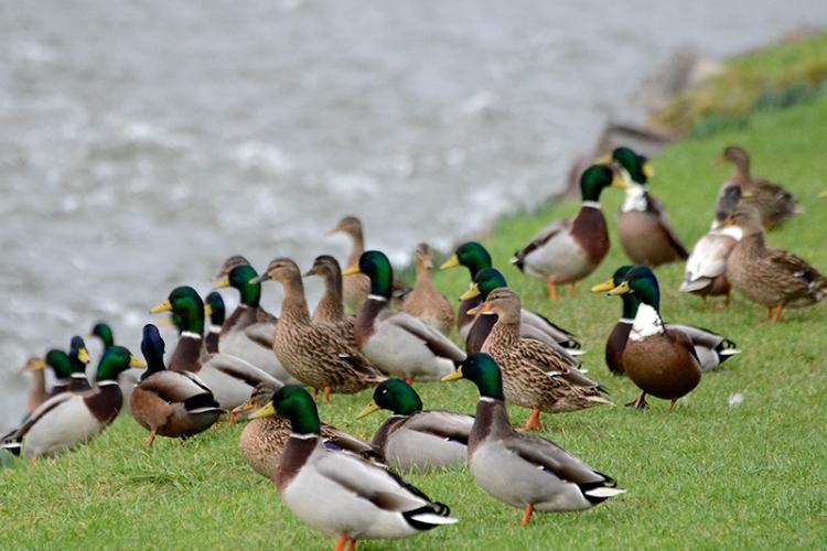 Kilngreen ducks
