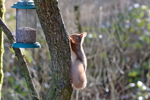 Eskrigg squirrels