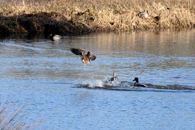 Eskrigg ducks
