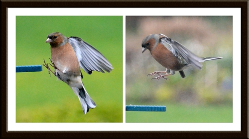 Moving chaffinches