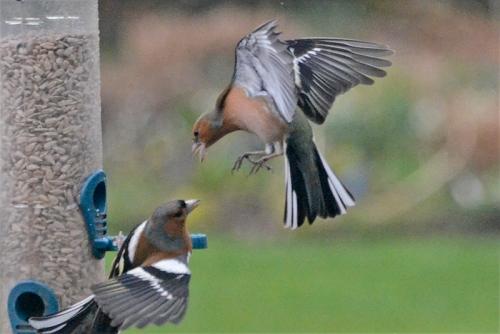 Quarrelling chaffinches