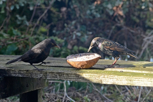 blackbird and starling