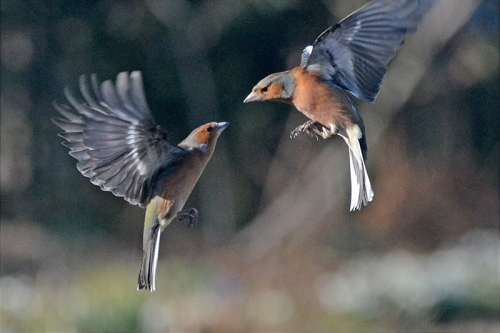 sparring chaffinches