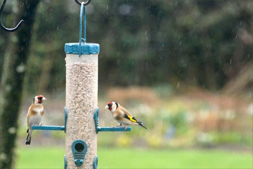 goldfinches in rain