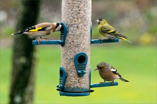 goldfinch, siskin, chaffinch
