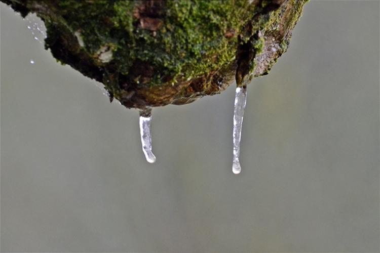 icicles on tree branch
