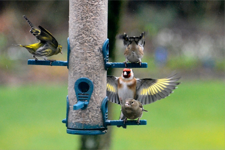 siskin, chaffinch and goldfinch